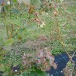 Campos de Herminia variedad arandanos ecologicos Chandler