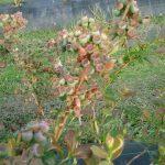 Campos de Herminia variedad arandanos ecologicos Duke